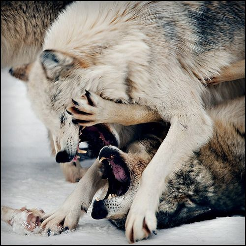 White wolf:i told you i was on my period and didnt want chocolate so lay off!  other wolf:Ok i got it now... im cool..