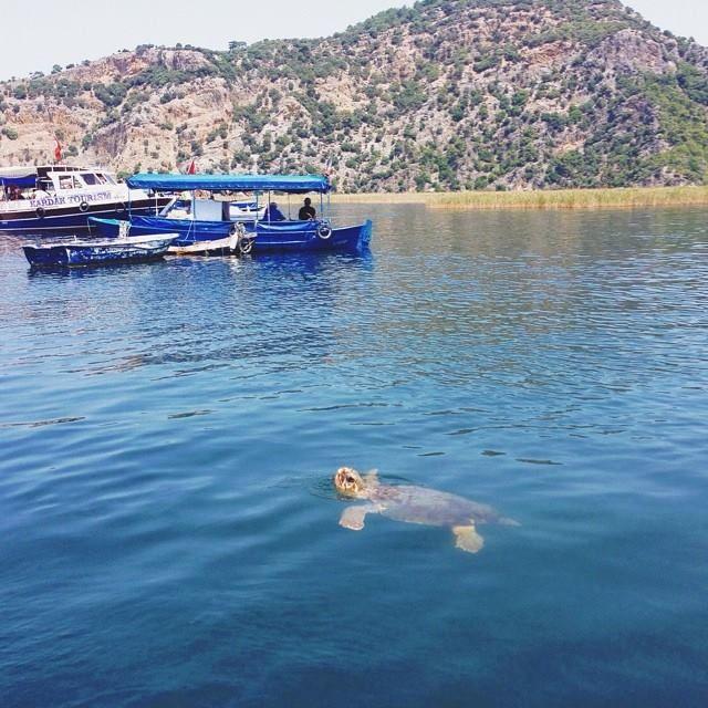 Caretta Caretta turtle near #Dalyan #Turkey http://www.traveltofethiye.co.uk/explore/attractions/dalyan-turkey-resort/
