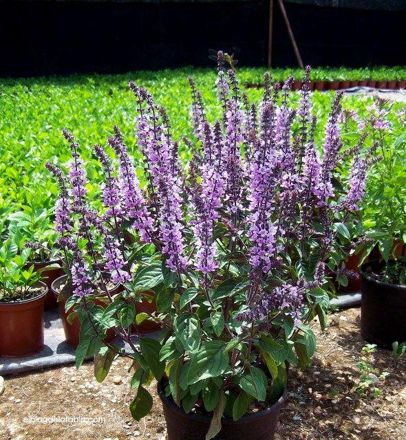 13 best plantas tiles images on pinterest - Plantas aromaticas en la cocina ...