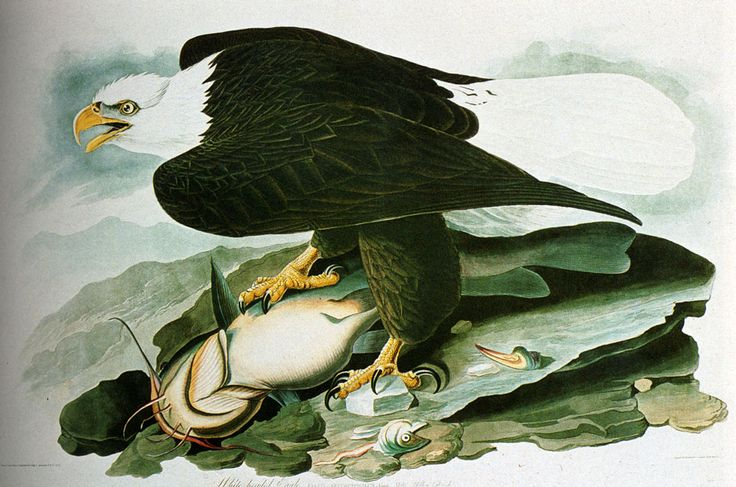 The Bald Headed Eagle From Birds Of America by John James Audubon. No one would publish his book when he completed it! Learn how it finally happened.
