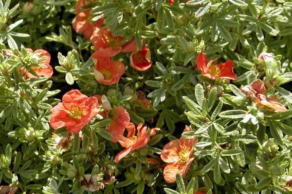 Potentille arbustive 'Red Ace'    Potentilla fruticosa 'Red Ace' (potentille arbustive 'Red Ace') atteint 60 cm de haut. La potentille arbustive 'Red Ace' fleurit abondamment en rouge tout l'été, de mai à fin octobre. La potentille arbustive 'Red Ace' a un joli feuillage vert tendre.