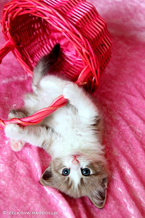 Ragdoll --    beautiful fluffy cat kitty