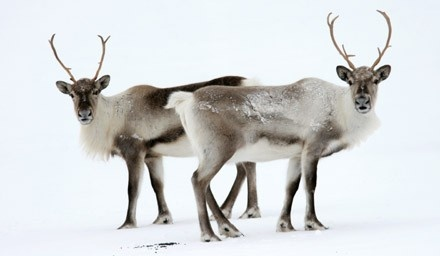 wild Artic Reindeer