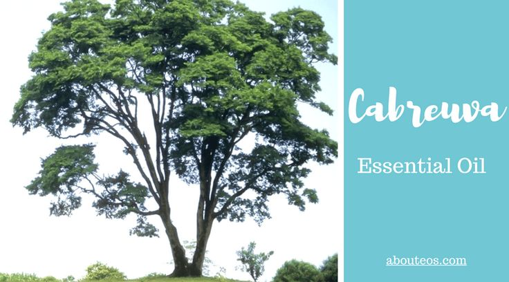 Cabreuva essential oil may be anti-cancer and antioxidant. See what else cabreuva essential oil is good for along with its properties and uses.