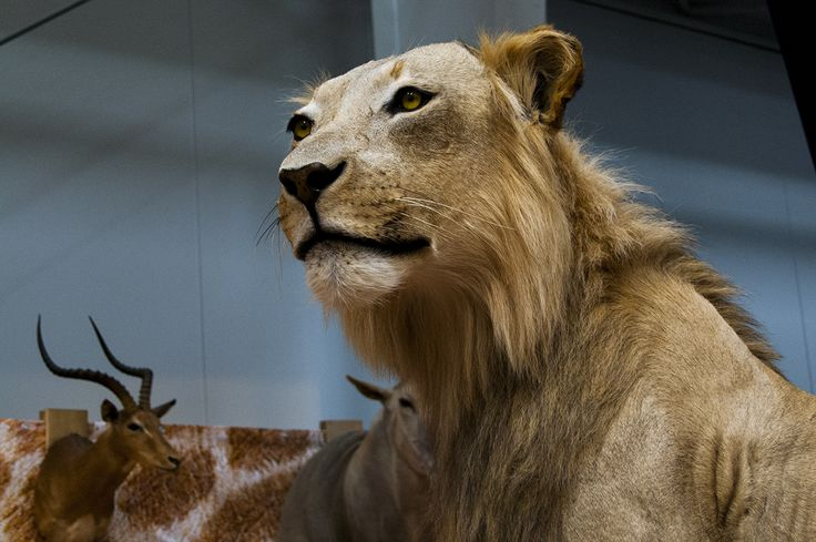 Graceful lioness trophy seen during Polish Hunting Fairs - Hubertus EXPO 2015. Hunt beautiful beasts of the wild with us!