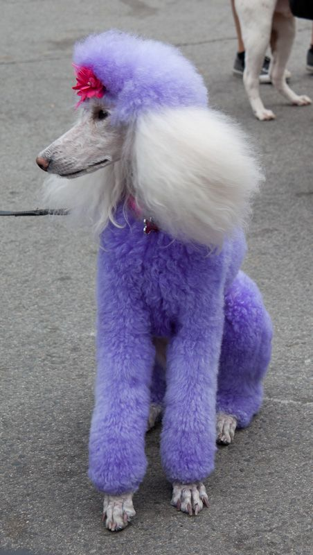 a purple fur coat!   Why would anyone do this to a dog?  This is just not right!