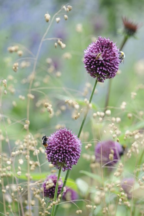 allium sphaerocephalon with briza media p l a n t s pinterest medium seeds and bees. Black Bedroom Furniture Sets. Home Design Ideas