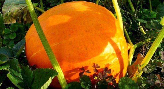 Выращивание тыквы: от посадки до созревания