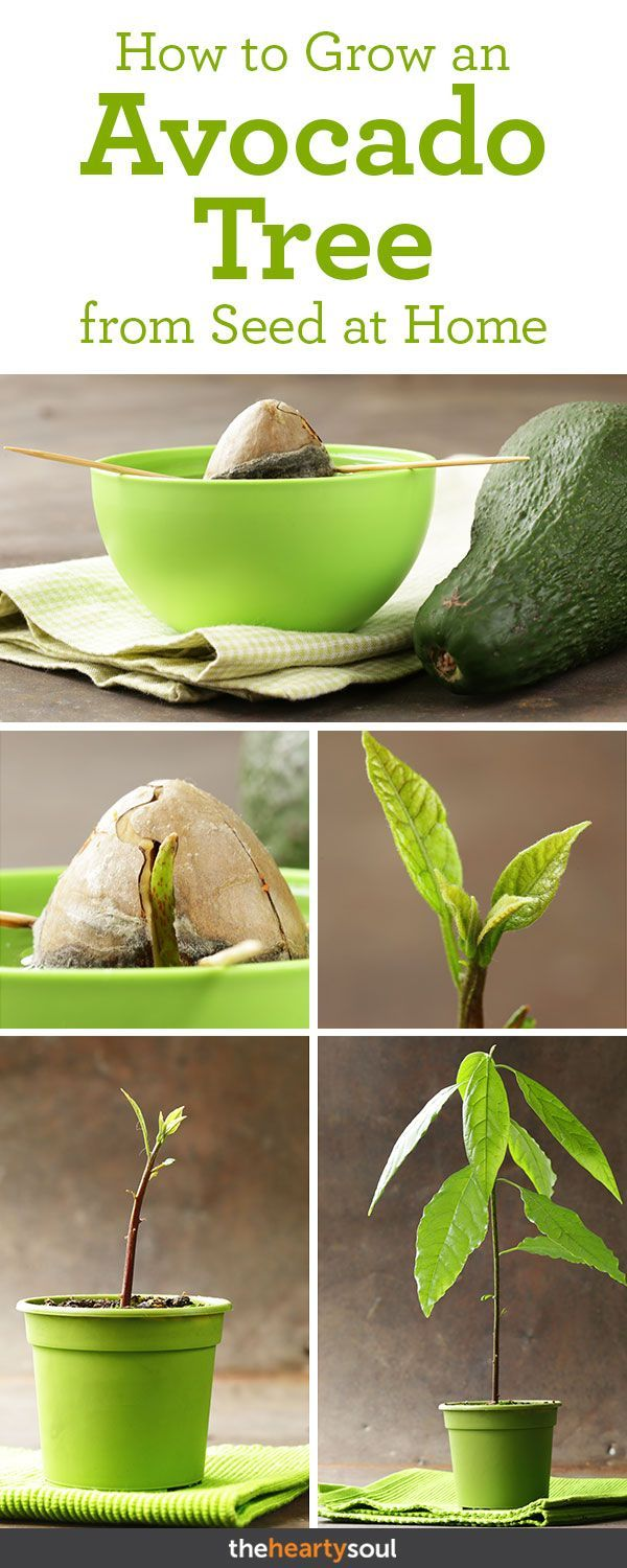 How To Grow An Avocado Tree In A Pot At Home Avocado Plant Grow Avocado Avocado Plant From Seed