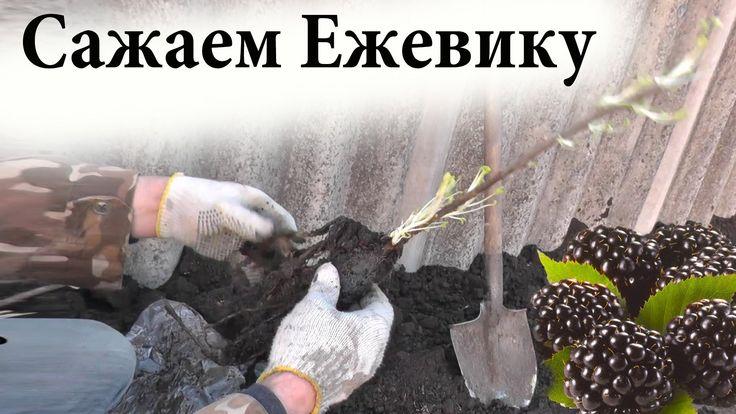 Как сажать ежевику / Садим ежевику в грунт