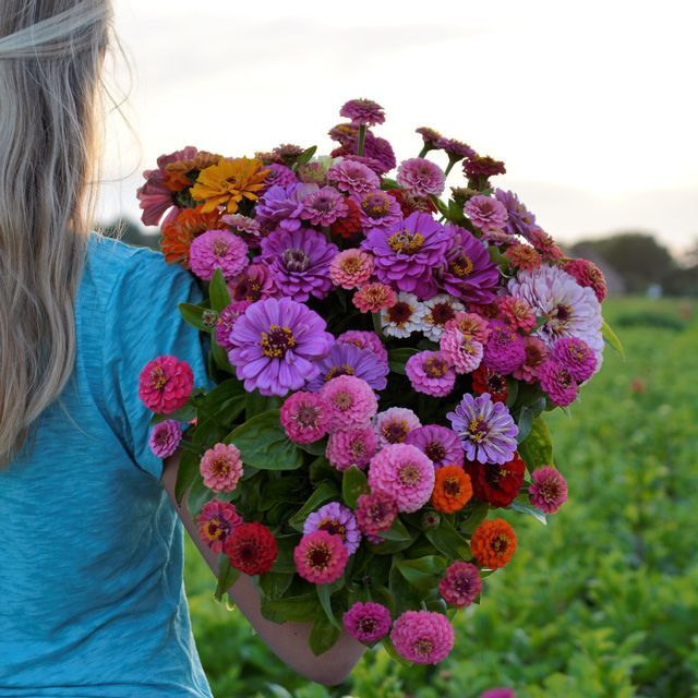 An Arm Full Of Zinnias From My Own Garden I Only Planted 3 Packages Of Zinnia Seeds And Look At My Flower Harvest Flower Farm Zinnia Garden Planting Flowers