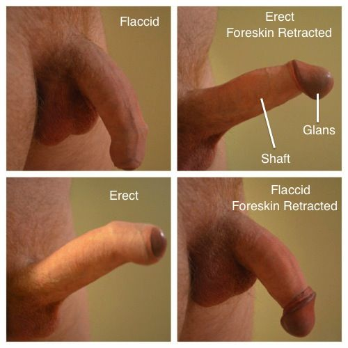 pictures of erect males penis