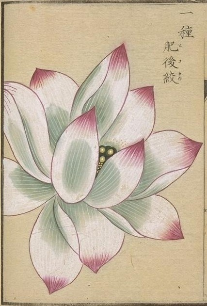 Lotus. This image comes from albums of flora (本草図譜) from the Museum at the University of Tokyo (http://www.um.u-tokyo.ac.jp/dm3/Database/honzo.html)