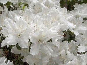 When to prune azaleas isn't complicated. There are two ideal pruning times--in spring right after blooming, and in early summer. Spent blooms shrivel and discolor, signaling a good time to prune. Do not prune azalea plants in late summer, as this will remove flower buds and prevent blooming.