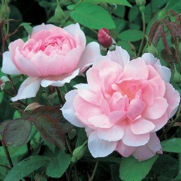 17 Best Images About Garden Rose On Pinterest Gardens