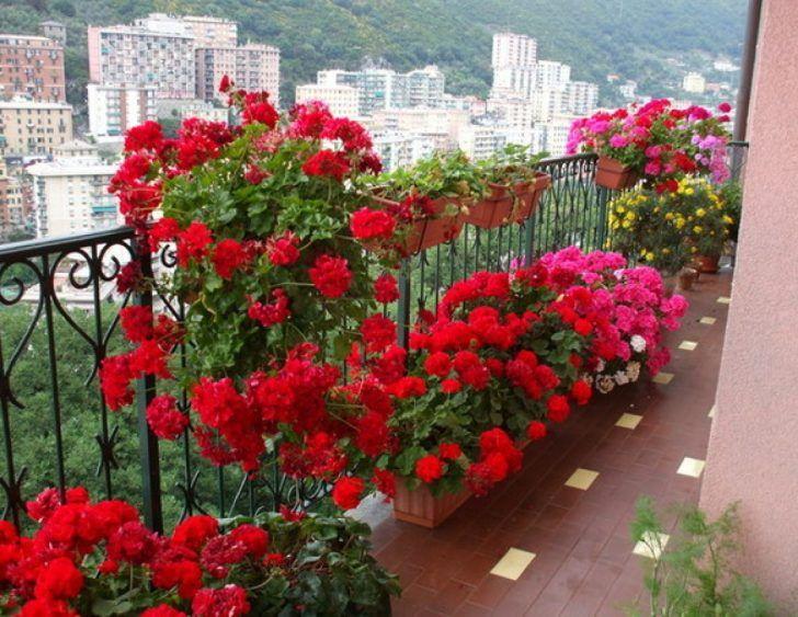geranium. balcony garden. balcony flowers. apartment balcony.