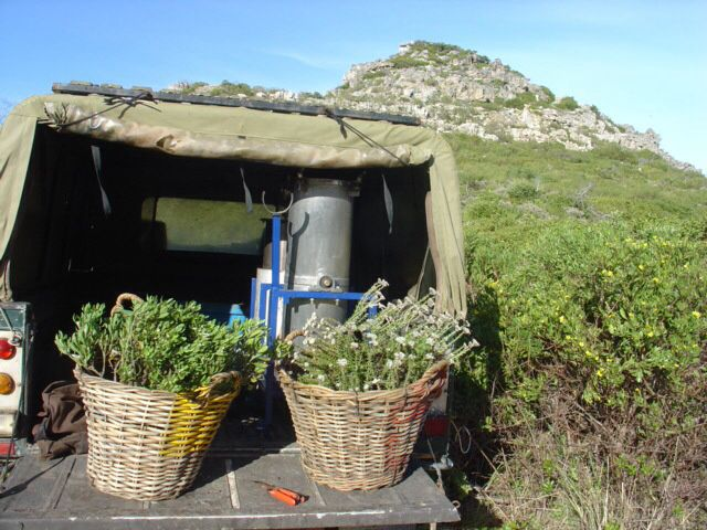 #Harvesting fynbos green  leaves are healty for our bodies