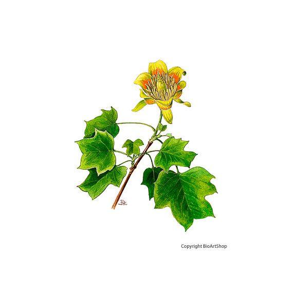 tuliptree (liriodendron tulipifera L)