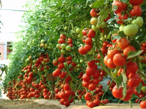 30 Best Images About Wts ˆ� Tomato Trees On Pinterest