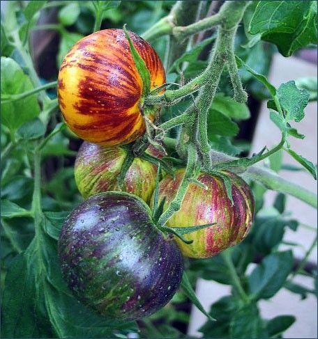 Stripes of Yore Tomato | Tomatoes | Pinterest | Gardens ...