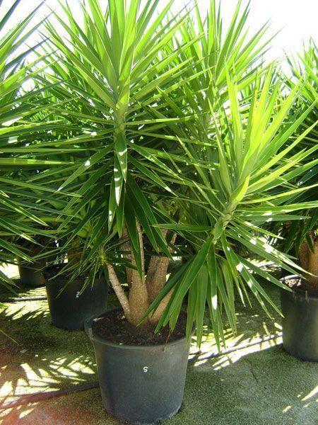 Sculptural Foliage: Yucca