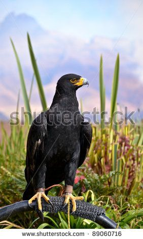 Black Eagle at the Bird Sanctuary by ByBethy, via ShutterStock