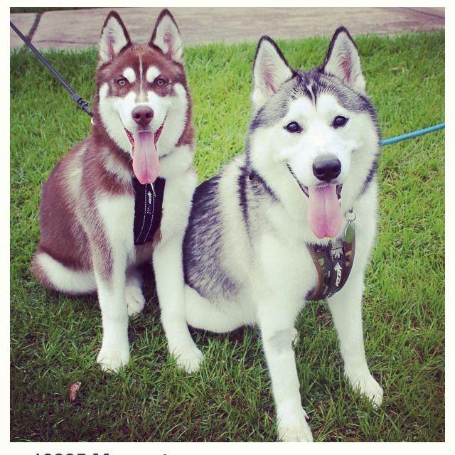 die besten 25 sibirische huskies ideen auf pinterest sch ne hunde husky hund und niedliche. Black Bedroom Furniture Sets. Home Design Ideas