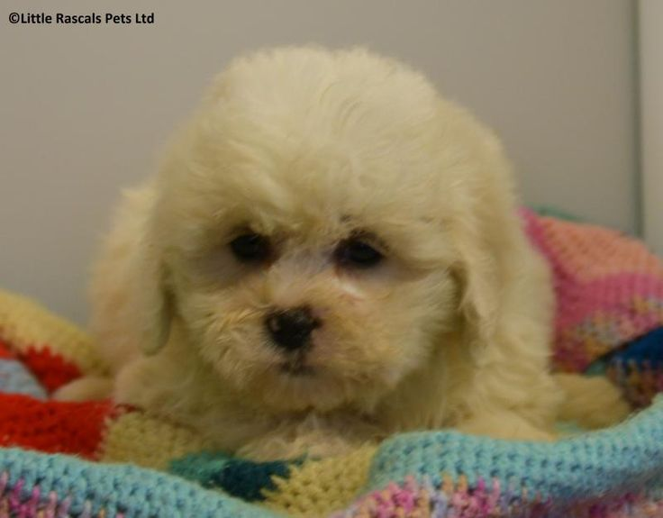 Fluffy Zuchon puppies - Designer and Cross Breed Puppies For Sale