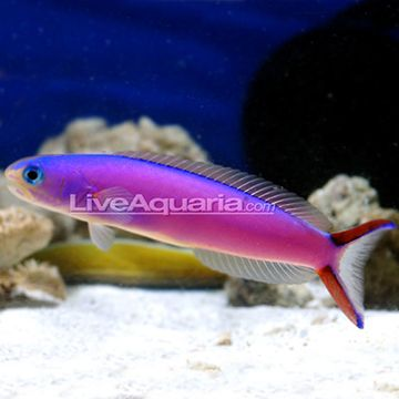 180 best reef safe fish images on pinterest saltwater for Purple freshwater fish