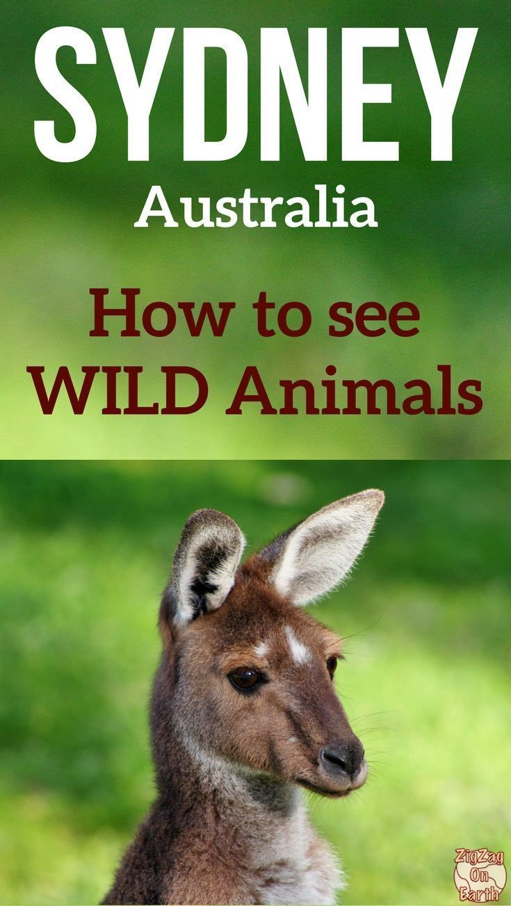Sydney Australia Travel - Get out of the city on a day trips to spot wild Australian animals and wildlife - kangaroos, koalas, platypus, echidna, ...