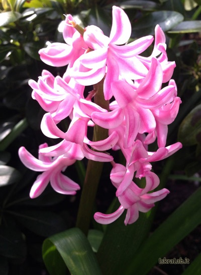 Pink hyacinth | Giacinto rosa | Download http://www.iskralab.it/wp-content/uploads/2013/04/giacinti.zip