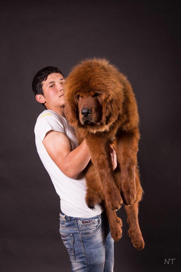Бек и рыжий мальчик тибетского мастифа #gangsen #tibetanmastiff #puppies #photosession
