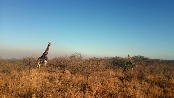 Spotted these two Giraffes on one of our Ubizane afternoon game drives.