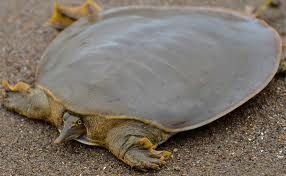 "The Yangtze giant softshell turtle (Rafetus swinhoei) or Red River giant softshell turtle is an extremely rare species of softshell turtle found in Vietnam & China. It can weigh nearly 300 lbs, w a shell that's nearly 40"" long.  But thanks to hunting & habitat destruction, the turtle has already been all but wiped out in the wild. There are now just four individuals (1 male) remaining in the world—all of them in zoos.  Attempts to breed them have been unsuccessful."