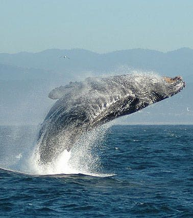 Whale Watching Monterey and Santa Cruz, California