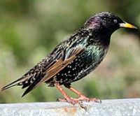 These starlings like to nest in my neighbours gutters, hehe.