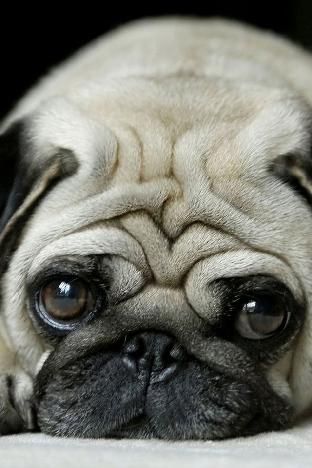 How Could you ? Deny that sweet precious little face !!! #Pugs