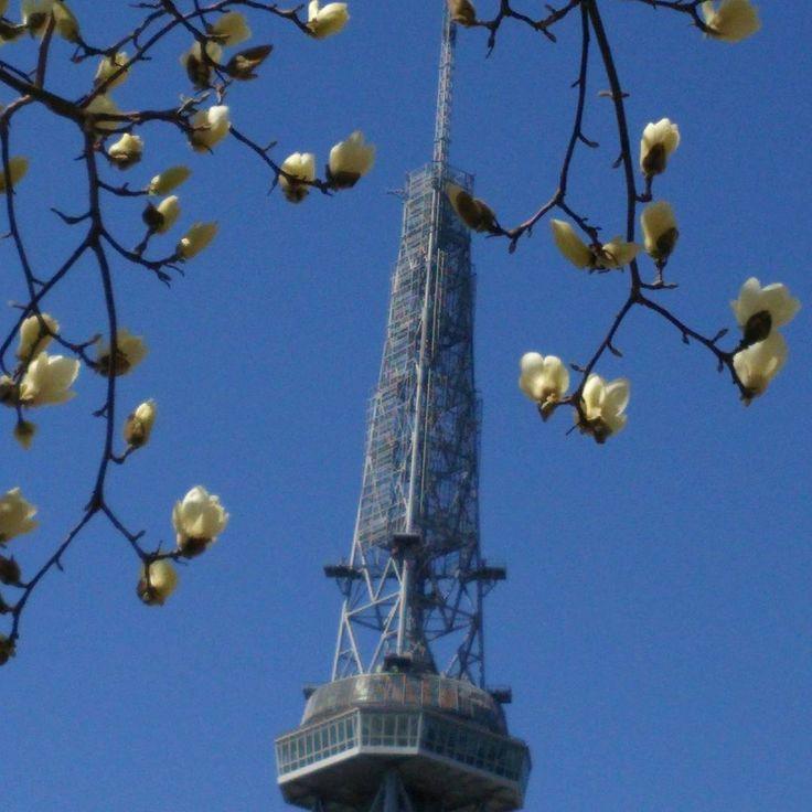 春ですね。#テレビ塔 と#モクレン  #名古屋テレビ塔 #木蓮  #春 #東亜和裁 #toawasai