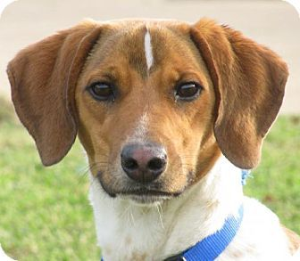 Oxford, MS - Basset Hound/Jack Russell Terrier Mix. Meet ...