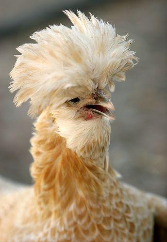 Chicken--love the 'hair'