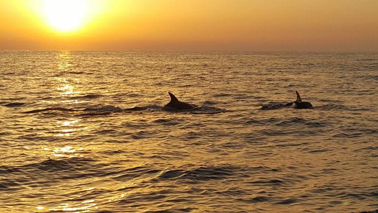 Dolfijnen bij Vrsar Kroatië