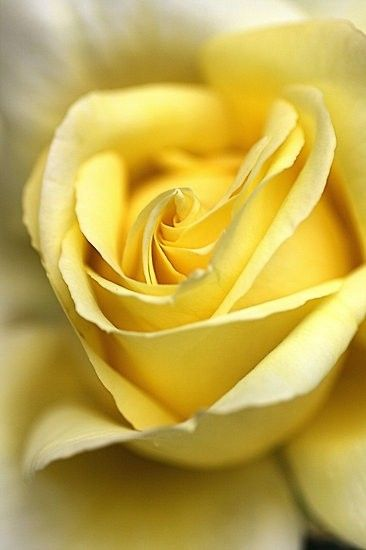 focusing on this rose for just 30 seconds will calm your mind-we'll see