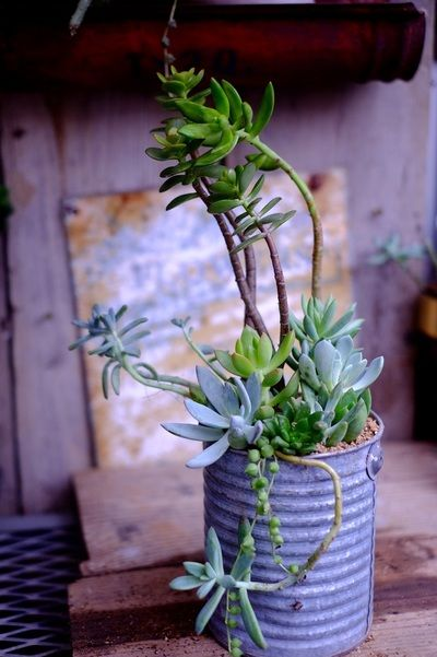 Succulents in old tins