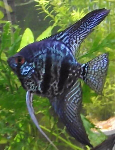 Leopard Angelfish   Pets in Steve's Aquarium   Pinterest ...