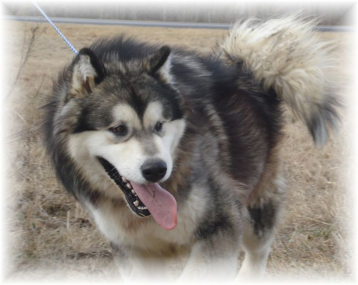 alaskan malamute dog photo | Alaskan Malamute on a walk photo and wallpaper. Beautiful Alaskan ...