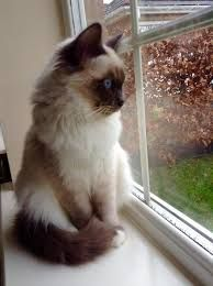 Image result for birman cat blue point