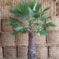 Vijver en Tuincentrum Pelckmans: Washingtonia Filifera