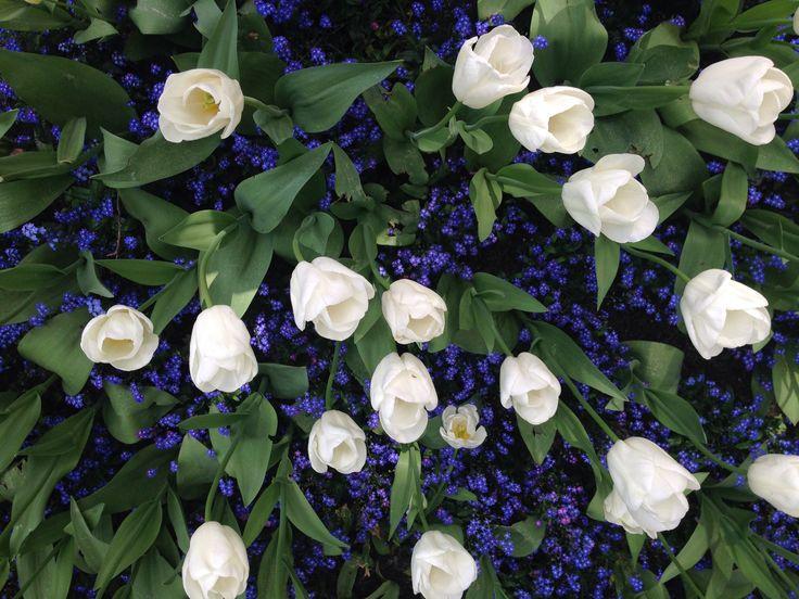 Tulips white flower photo