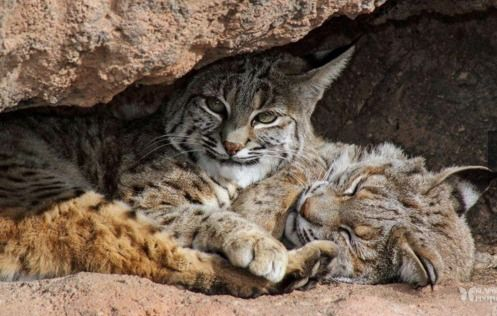 Bobcats, Bobcat Pictures, Bobcat Facts - National Geographic