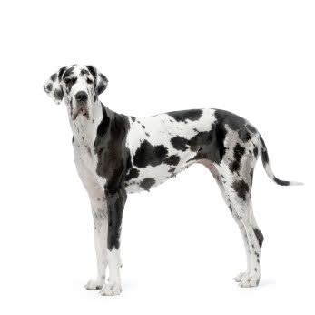 Black and white Great Dane | Wish List | Pinterest